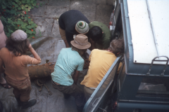 Loading the cannon for removal for conservation: photo D. Meades